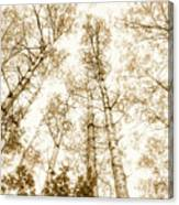 Tall Aspens Canvas Print