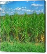 Tall Corn Canvas Print