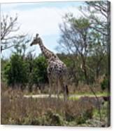 Tall Giraffe Canvas Print