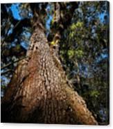 Tall Oak Canvas Print