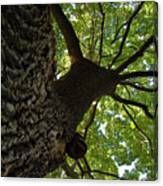 Tall Oak Canvas Print