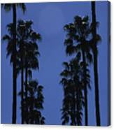 Tall Palm Trees In A Row Canvas Print