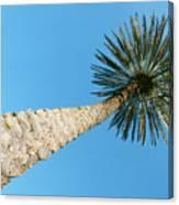 Tall Palm Canvas Print