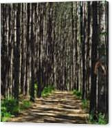 Tall Pine Lined Path Canvas Print