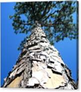 Tall Pine Tree In Summer Canvas Print