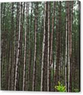 Tall Pines After The Rain Canvas Print