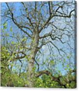 Tall Tree Canvas Print