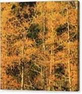Tamarack Foliage Canvas Print
