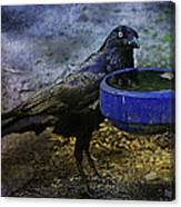 Taming Of The Crow Canvas Print