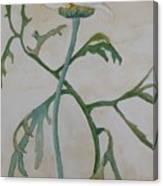 Tanacetum Canvas Print