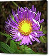 Tansyleaf Aster Canvas Print