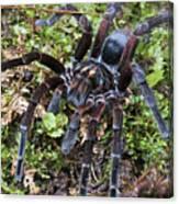 Tarantula Pamphobeteus Sp Male, Mindo Canvas Print