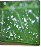Taro Leaf Canvas Print