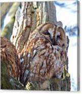 Tawny Owls Canvas Print