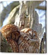 Tawny Owls In Love Canvas Print