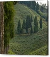Tea Garden In Darjeeling Canvas Print