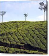 Tea Planation In Kerala - India Canvas Print