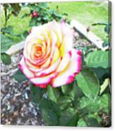 Tea Rose For A Lady Canvas Print