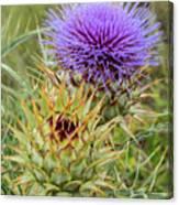 Teasel In Bloom Canvas Print