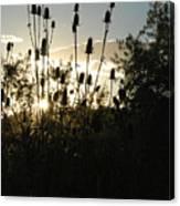 Teasel Sunset Glow Canvas Print
