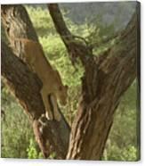 Terengeti Lioness Canvas Print