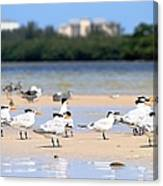 Terns At Fort Myers Canvas Print