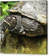 Tess The Map Turtle #2 Canvas Print