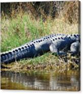 Texas Alligator Canvas Print