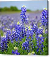 Texas Blue - Texas Bluebonnet Wildflowers Landscape Flowers  Canvas Print