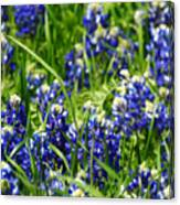 Texas Bluebonnets 002 Canvas Print