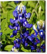 Texas Bluebonnets 005 Canvas Print