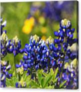 Texas Bluebonnets 006 Canvas Print