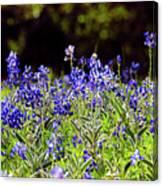 Texas Bluebonnets IIi Canvas Print