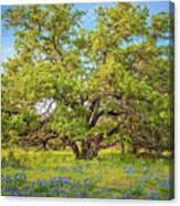 Texas Bluebonnets Under A Giant Oak Tree Canvas Print