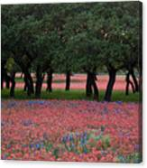 Texas Live Oaks Surrounded By A Field Of Indian Paintbrush And Bluebonnets Canvas Print
