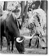 Texas Longhorn Steer In Black And White Canvas Print