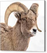 That Handsome Ram Canvas Print
