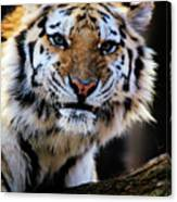 That Tiger Look Canvas Print