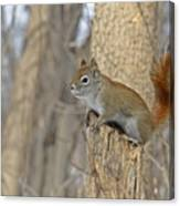 The American Red Squirrel Canvas Print