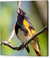 The American Redstart Canvas Print