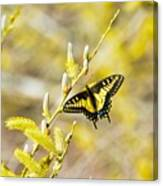 the Anise Swallowtail  feeding in the trees Canvas Print