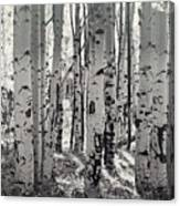 The Aspen Forest In Black And White  Canvas Print