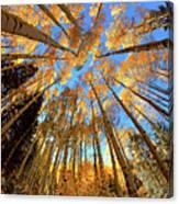 The Aspens Above - Colorful Colorado - Fall Canvas Print
