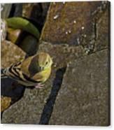 The Bath - American Goldfinch - Spinus Tristis Canvas Print