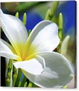 The Beautiful Plumeria  Canvas Print