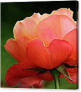 The Beauty Of A Rose Canvas Print