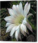 The Beauty Of Cactus Canvas Print