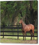 The Beauty Of The Thoroughbred Canvas Print
