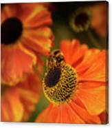 The Bee And The Helenium Canvas Print