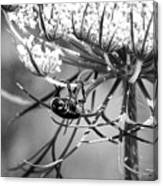 The Beetle Acrobat Black And White Canvas Print